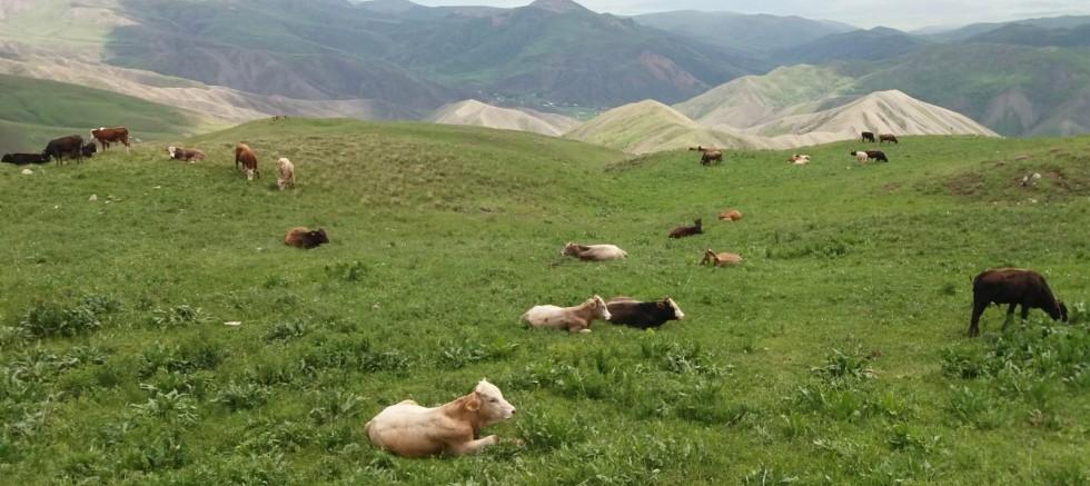 Hırsızlar Eleşkirt'te 25 Büyükbaş Hayvan Çaldı